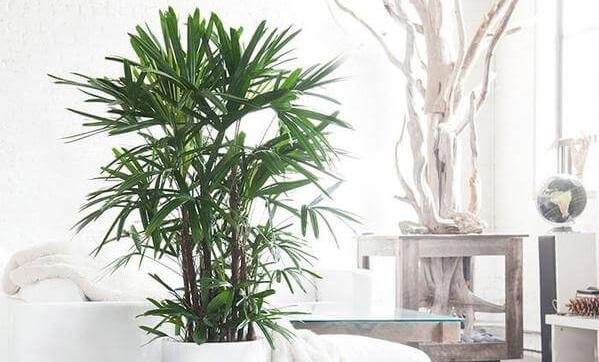 نخل رافیس اکسلسا Lady Palm